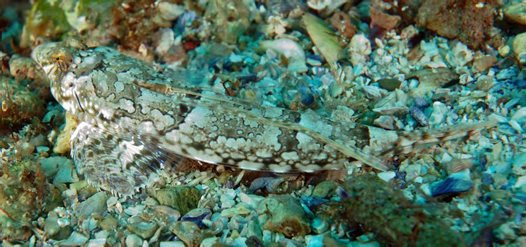 Painted Stinkfish, Eocallionymus papilio
