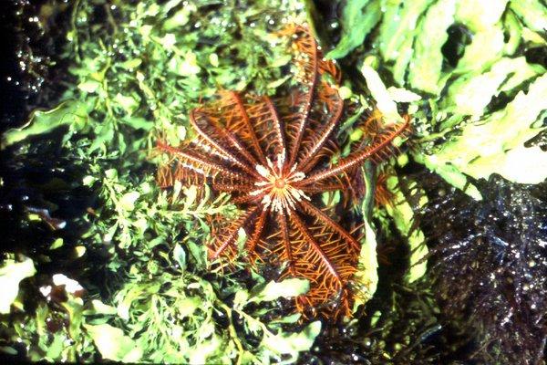 Cenolia trichoptera