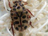 Scarabaeidae Coleoptera
