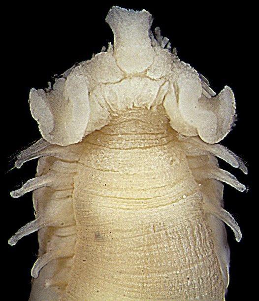 Amaeana trilobata.