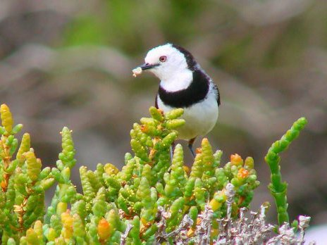 Male white-fronted chat with insect larva