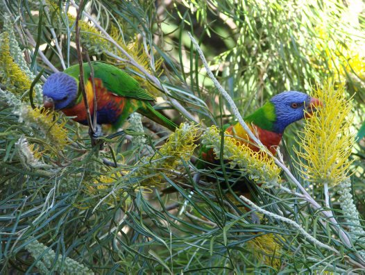 Rainbow Lorikeet feeding