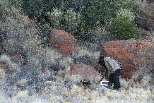 Rangers releasing a warru (black-footed rock-wallaby)