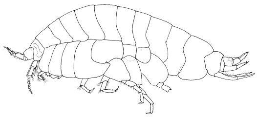 The uristid amphipod Des griffini