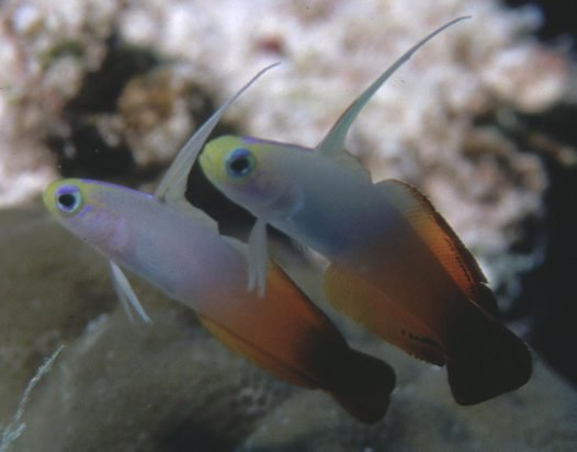 Red Firegoby