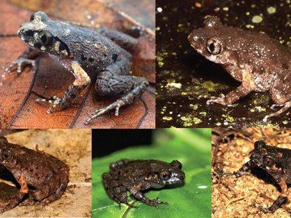 Five new species of Asian Leaf-litter Frog
