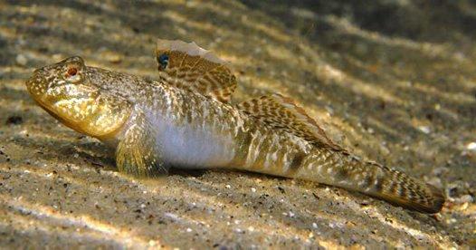 Southern Longfin Goby, Favonigobius lateralis