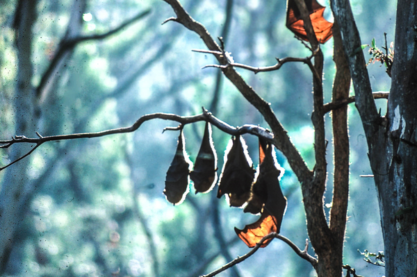 Black Flying fox hanging from a branch