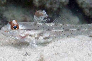 Flasher Sandgoby, Fusigobius signipinnis