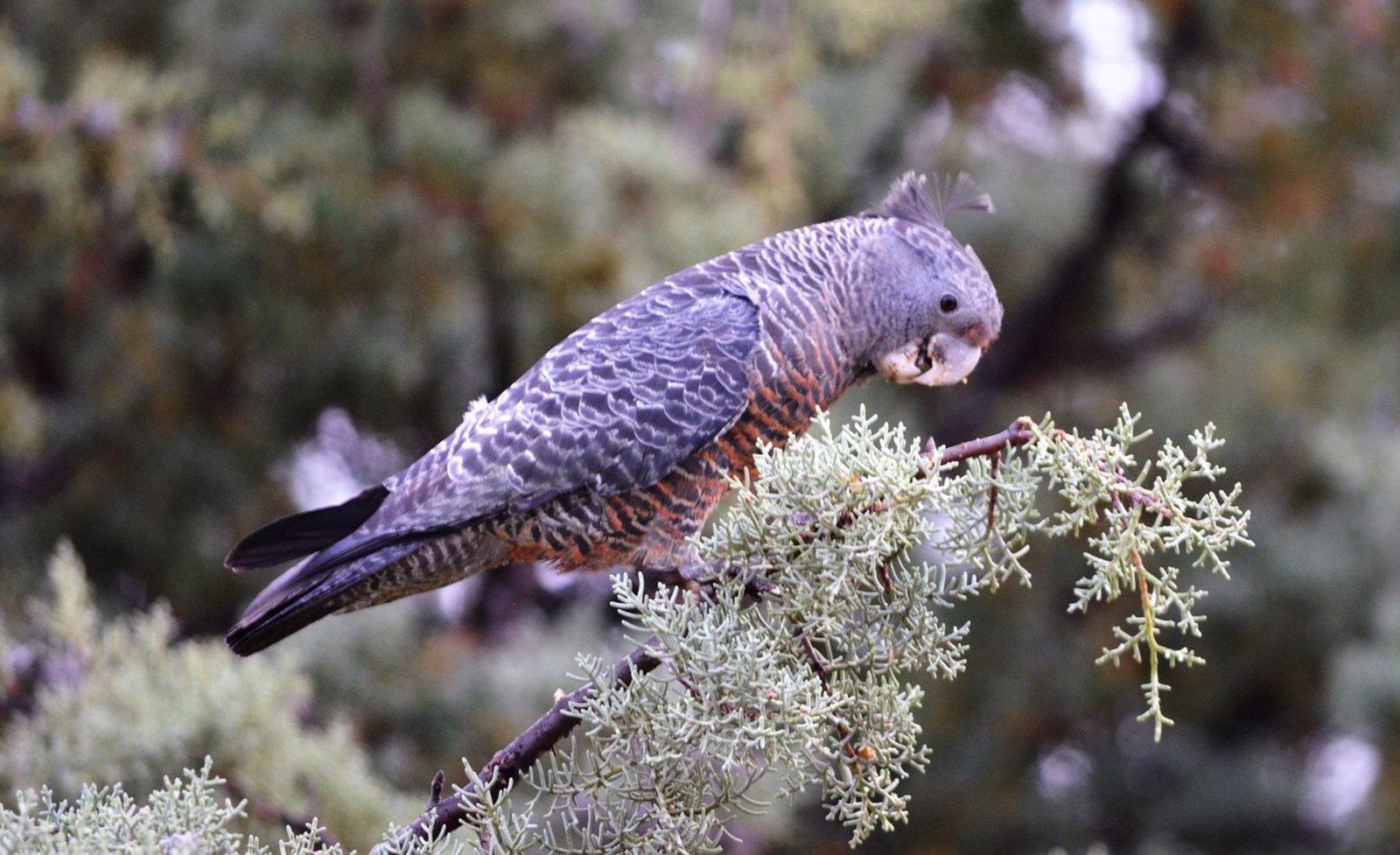 Gang-gang Cockatoo, female