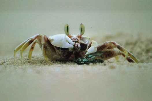 Ghost Crab Eating Butterfly