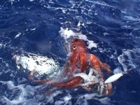 Giant Squid, Architeuthis dux