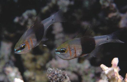 Girdled Cardinalfish
