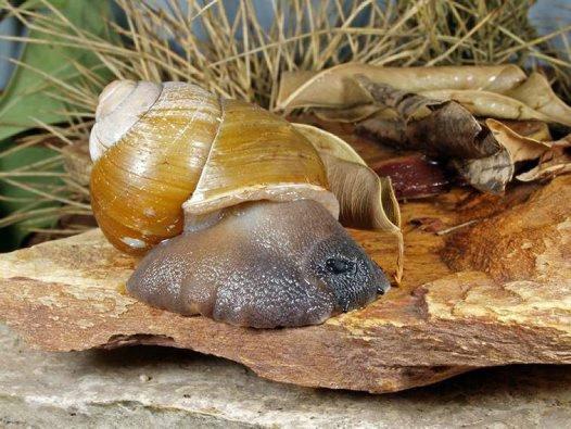 Kimberley land snail: Globorhagada prudhoensis