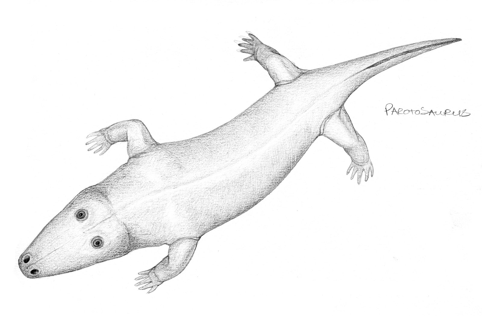 Labyrinthodont amphibian, Parotosaurus wadei