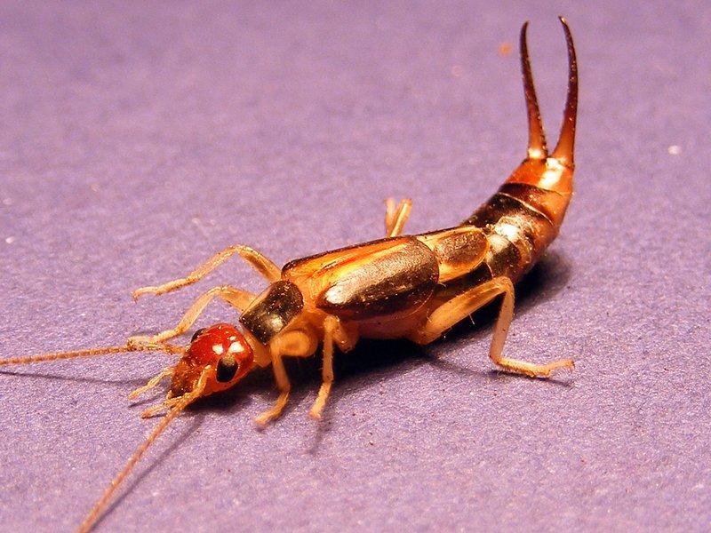 gold striped earwig
