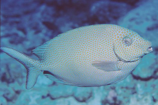 Spotted Rabbitfish