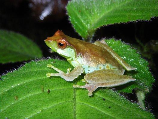 Female Quang's Tree Frog (Gracixalus quangi)