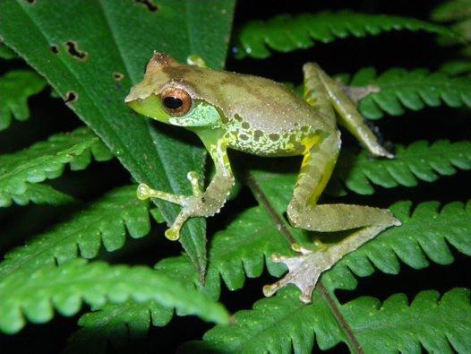 Male Quang's Tree Frog, Gracixalus quangi, Vietnam.