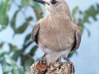 Grey Shriketrush