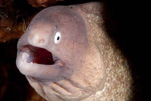 Greyface Moray, Gymnothorax thyrsoideus