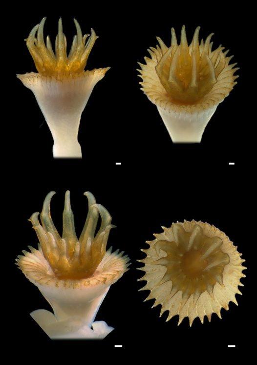 Hydroides dianthus