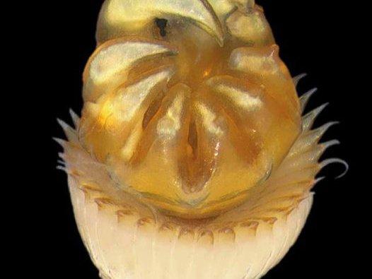 Operculum of Hydroides amri