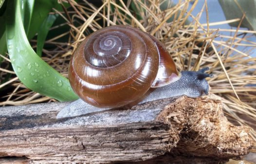 Kimberley land snail: Hadra wilsoni