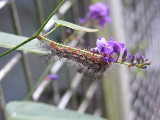 Tussock caterpillar