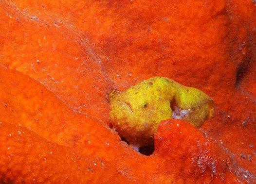 Smooth Anglerfish with eggs on a sponge