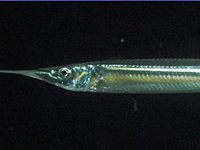 Southern Garfish, <i>Hyporhamphus melanochir</i>