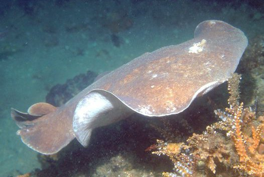 Coffin Ray, <i>Hypnos monopterygius</i>