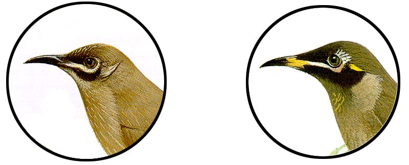 The Eungella and Bridled Honeyeaters