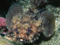 Sculptured Frogfish, <i>Halophryne queenslandiae</i>