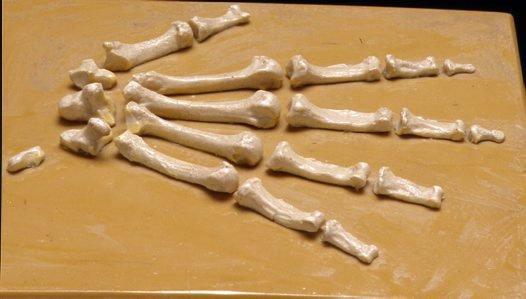 Australopithecus afarensis hand bones cast