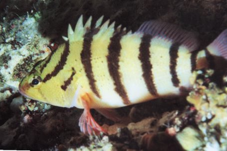 Blackbanded Seaperch