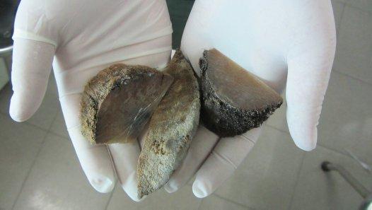 Horn fragments from a rhino horn seizure in Vietnam.