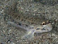 Blackspotted Sandgoby, Istigobius nigroocellatus