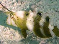 Blue Razorfish, Iniistius pavo