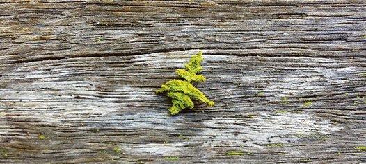 Caterpillar from the genus Anisozyga