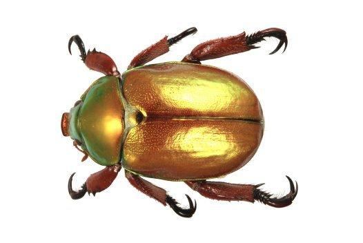Male King Beetle, Anoplognathus viridiaeneus