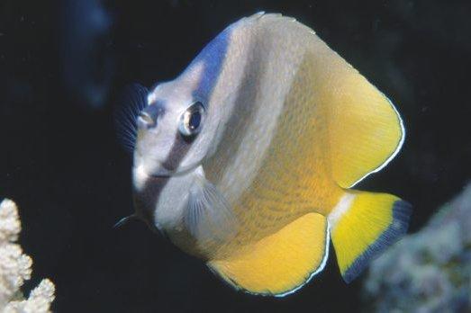 Klein's Butterflyfish