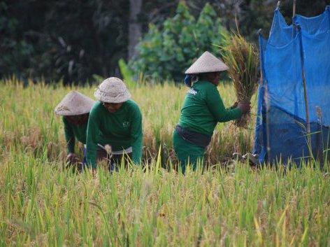 Women  harvesting rice, Laplapan village near Ubud, Bali.
