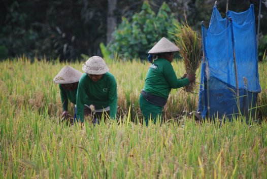 Women  harvesting rice, Laplapan village near Ubud, Bali.