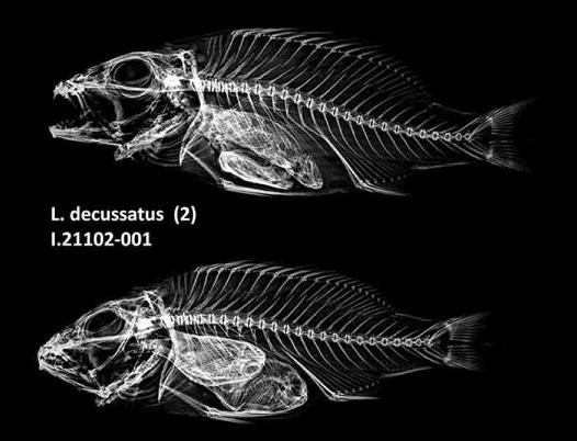 Checkered Snapper x-ray