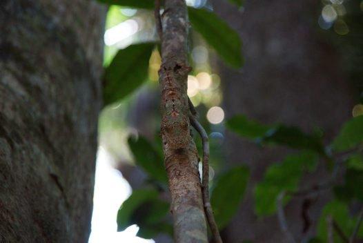 Madagascar 2012 - Leaf-tailed gecko