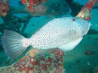 Potbelly Leatherjacket, <i>Pseudomonacanthus peroni</i>