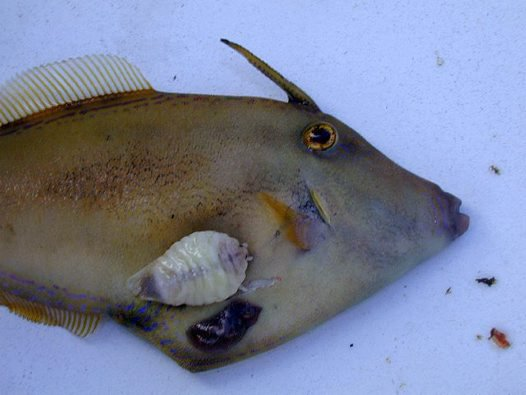 Yellowfin Leatherjacket with Leatherjacket Louse
