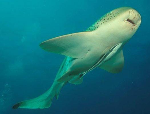 Slender Suckerfish attached to a Leopard Shark