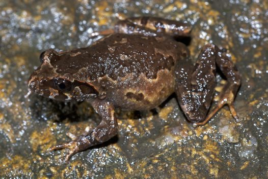 Botsford's Asian Leaf-litter Toad <i>Leptolalax botsfordi</i>